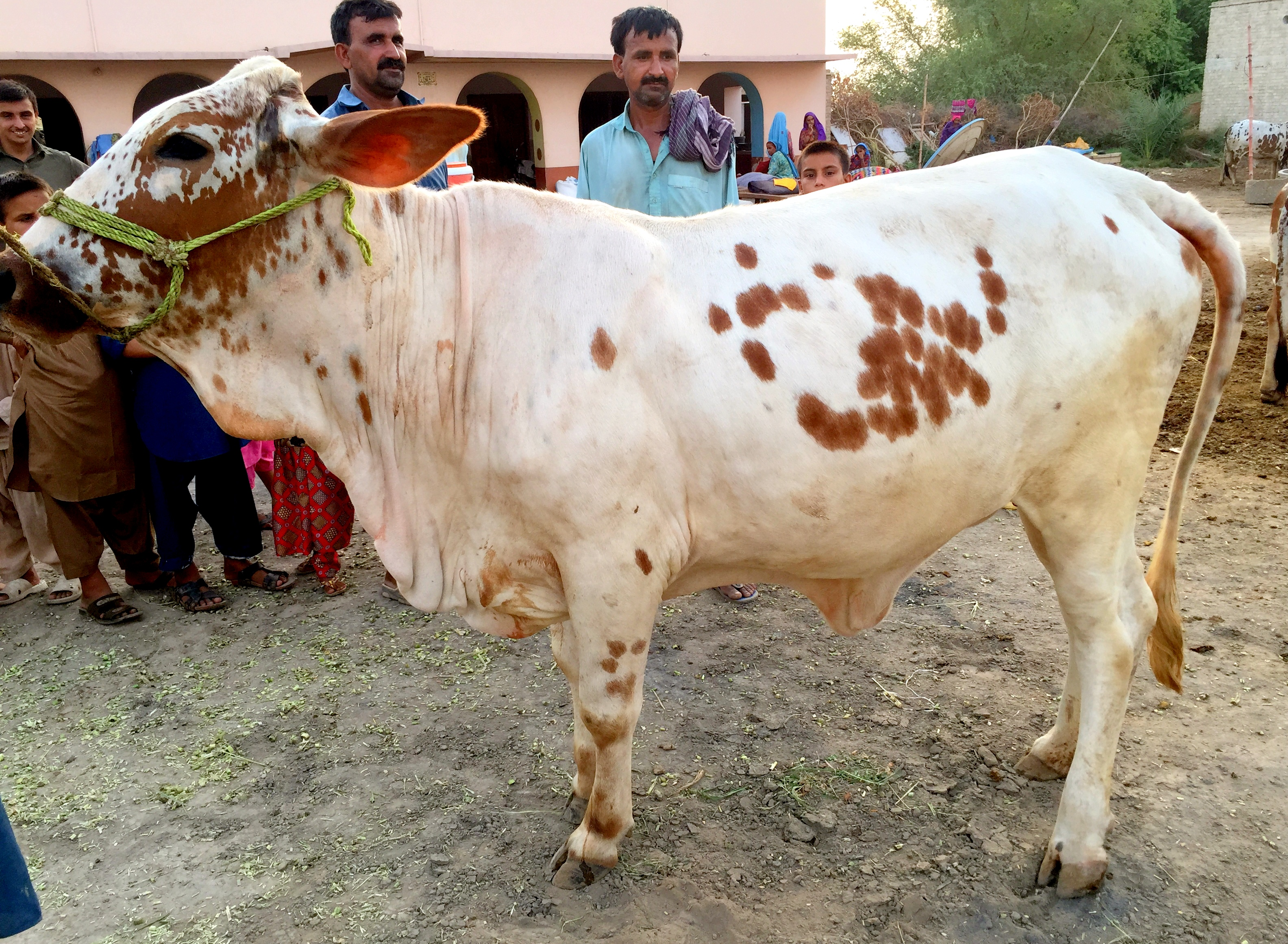 Bachra OX for Qurbani (1) - 115,000PKR